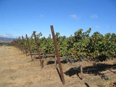 wineyard_in_livermore-xin_cam_on_2-large-content